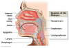 Figure 1. Oral pharynx. The pharynx, a common passageway for solid food, liquids, and air.