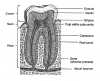Fig 8. Parts of a Tooth. Adapted from Applegate E. The Anatomy and Physiology Learning Systems. 2nd ed. Philadelphia, PA: W.B. Saunders; 2000;333.