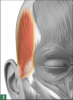 The temporalis muscle.